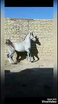 horseiranian97