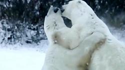 درگیری خرس ها