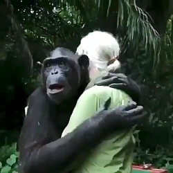 لحظه ازاد شدن شامپانزه در جنگل :)