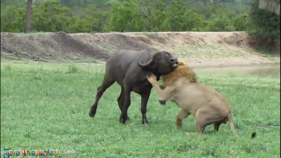 قدرت شیر در دنیای حیوان...