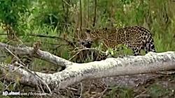 یوزپلنگ در مقابل عقاب، شیر در مقابل کفتار - یوزپلنگ و شکار تمساح | حیوانات وحشی