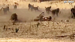 پلنگ و 10 میمون و مار کبرا - موفقیت مادر بوفالو بچه را نجات میدهد از شیر