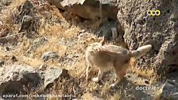 مستند حیات وحش ایران (گرگها)