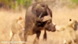 حمله های ناموفق شیرهای ...