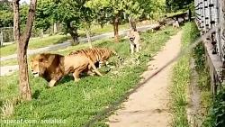 نبرد تماشایی ببر مقابل شیر