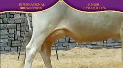 International Brown Swiss Show 2010 , 2 Ye...