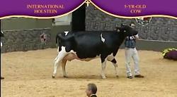 International Holstein Show 2010 , 5 Years...