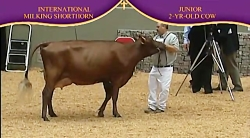 International Dairy Shorthorn Show 2010 , ...