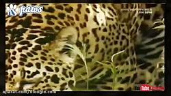جگوار - پلنگ