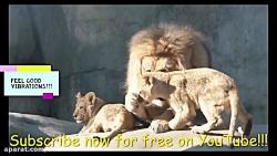 کلیپ زیبا از خانواده شیر ها