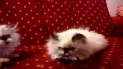 بازی بچه گربه های پرشین