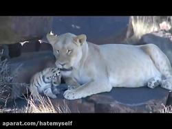 وقتی شیر ماده به ببر کمک میکنه تا بچه هاشو بزرگ کنه :)