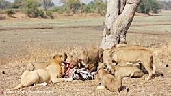 ببینید شیرها چجوری این زرافه بخت برگشته رو شکار میکنن