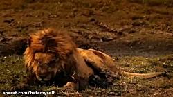 آخرین لحظات زندگی یک شیر در حیات وحش رو ببینید