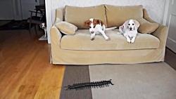 سگ در مقابل شوخی میگو غول پیکر!