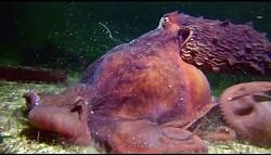 بلعیده شدن خرچنگ توسط اختاپوس
