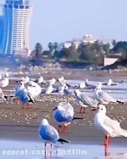 کلیپ عاشقانه کنار دریا با مرغهای دریایی