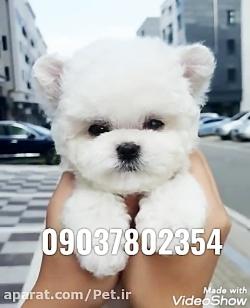 فروش سگ آپارتمانی عروسکی شماره تماس 09037802354