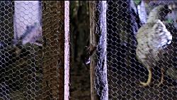 مستند حیات وحش | شکار مرغ توسط خفاش گرسنه