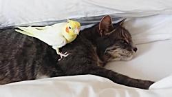 محافظت جالب طوطی از گربه خوشگل