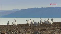 مستند شکار - گرگ سفید قط...