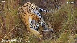 نبرد ببر ها بر سر شکار | حیوانات وحشی | ببر