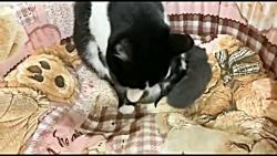 بچه گربه های ناز مامانی