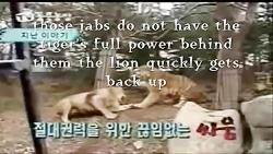 نبرد ببر سوماترا با شیر افریقایی