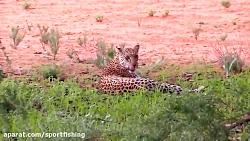 فیلم مستند مکر و حیله پلنگ برای شکار اهو در حیات وحش افریقا