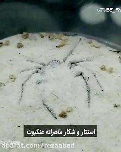 کلیپ جالب - استتار و شکار ماهرانه عنکبوت
