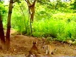 سر به سر گذاشتن دو تا شیر توسط یک میمون زرنگ