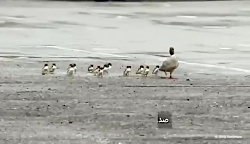 اردک ها
