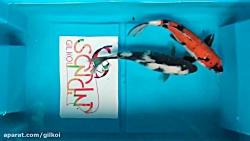 پک پیشنهادی شماره ۸ ماهی کوی
