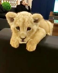 گربه یا شیر