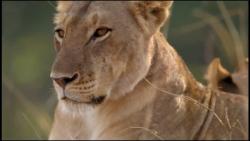 مستند حیوانات / نبرد شی...