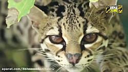 مستند حیات وحش جنگ گربه...