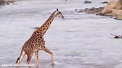 شکار حیوانات توسط تمسا...