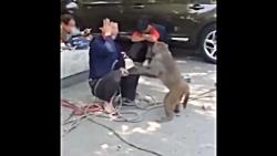 سیلی خوردن از میمون