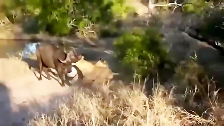 پرواز شیر با شاخ بوفالو