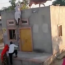 گاو در پشت بام