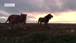 صحنه های از کشتن بیرحمانه کفتار ها توسط شیرها