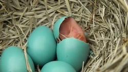 بیرون آمدن لحظه به لحظه جوجه سینه سرخ اروپایی از تخم