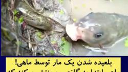 بلعیده شدن مار توسط ماهی