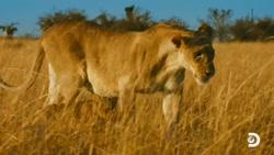 صحنه های بسیار جالب از نبرد شیر ماده با دو شیر نر برای حفاظت از جان توله های خود