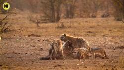 صحنه ای بسیار جالب و دیدنی از فرصت طلبی شغال ها در حیات وحش