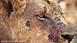 صحنه های بسیار زیبا از حمایت و همبستگی گله شیر ها با یکدیگر