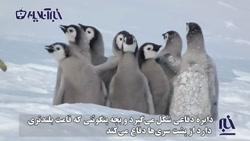 تاکتیک دفاعی خیرهکننده بچه پنگوئنها در مقابل مهاجمی بیرحم