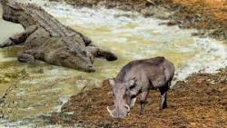 حیات وحش، حمله کروکودیل به گراز / شکار قدرتمندترین ها