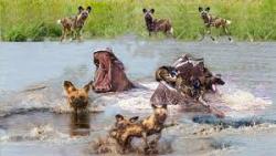 حیات وحش، سگ های وحشی در مقابل اسب آبی / راز بقاء
