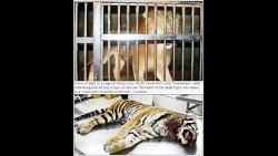 کشته شدن ببر توسط شیر